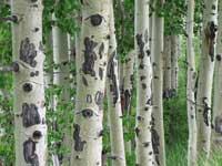Aspen trees in June