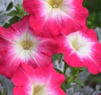 Annual Petunias