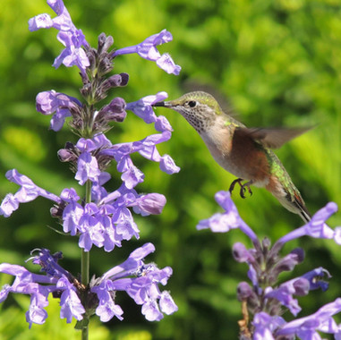 Metro Water District Public Garden - Hummingbird