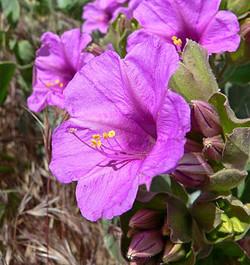 Mirabilis multiflora