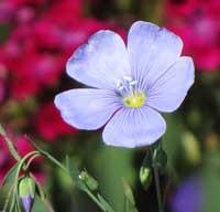 Linum-var flowers