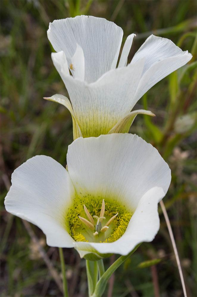 Calochortus gunnisonii