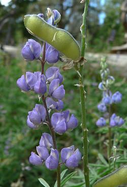 Lupinus argenteus
