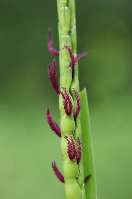 Tripsacum_dactyloides.JPG