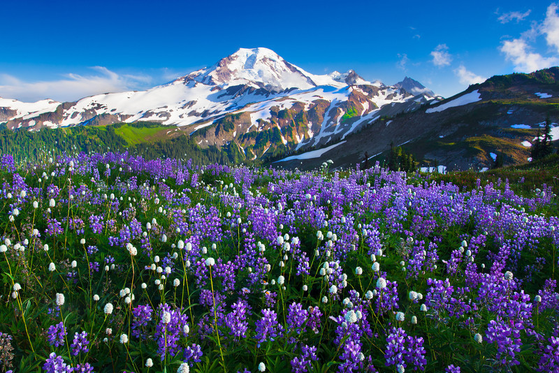 Flowers on Mt. Baker