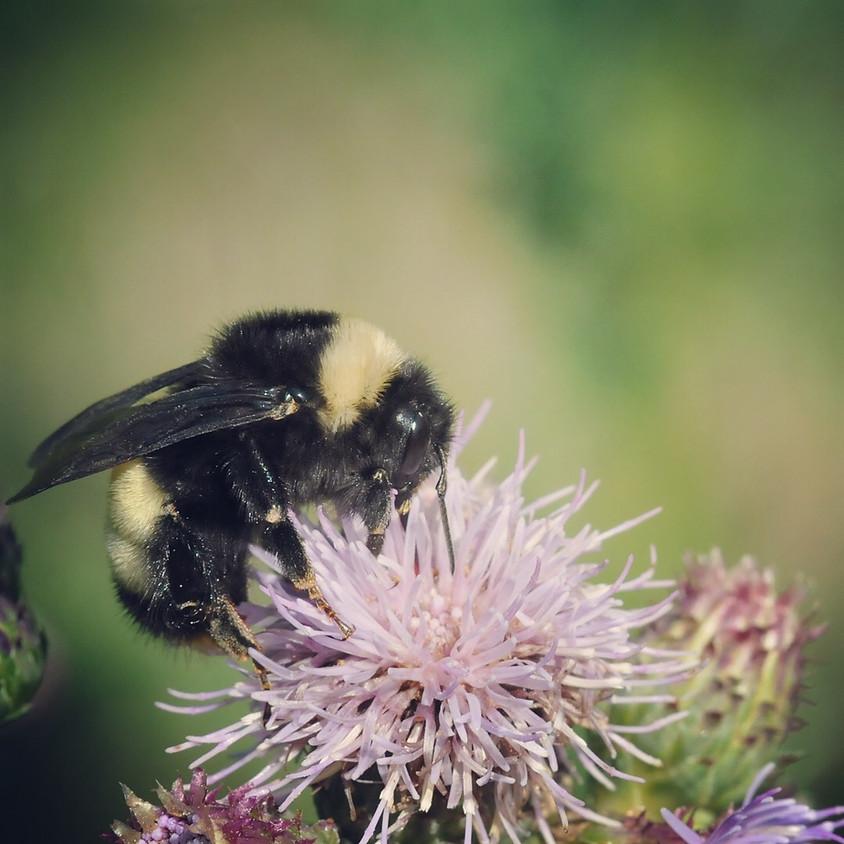 Bumble Bee Taxonomy Workshop