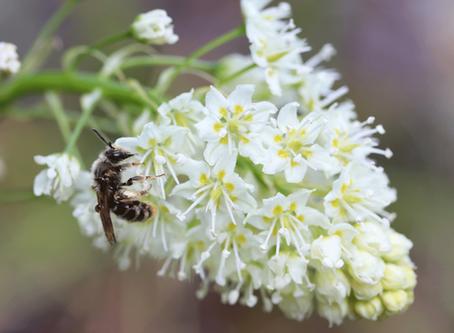 What Pollinates a Poisonous Plant?