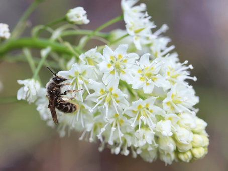 What Pollinates a Poisonous Plant?