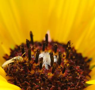 Andrenidae