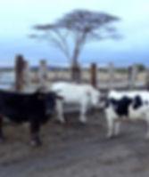cow2_650x550.jpg