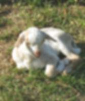 goat1_650x550.jpg