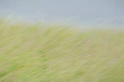 Dune Grass-