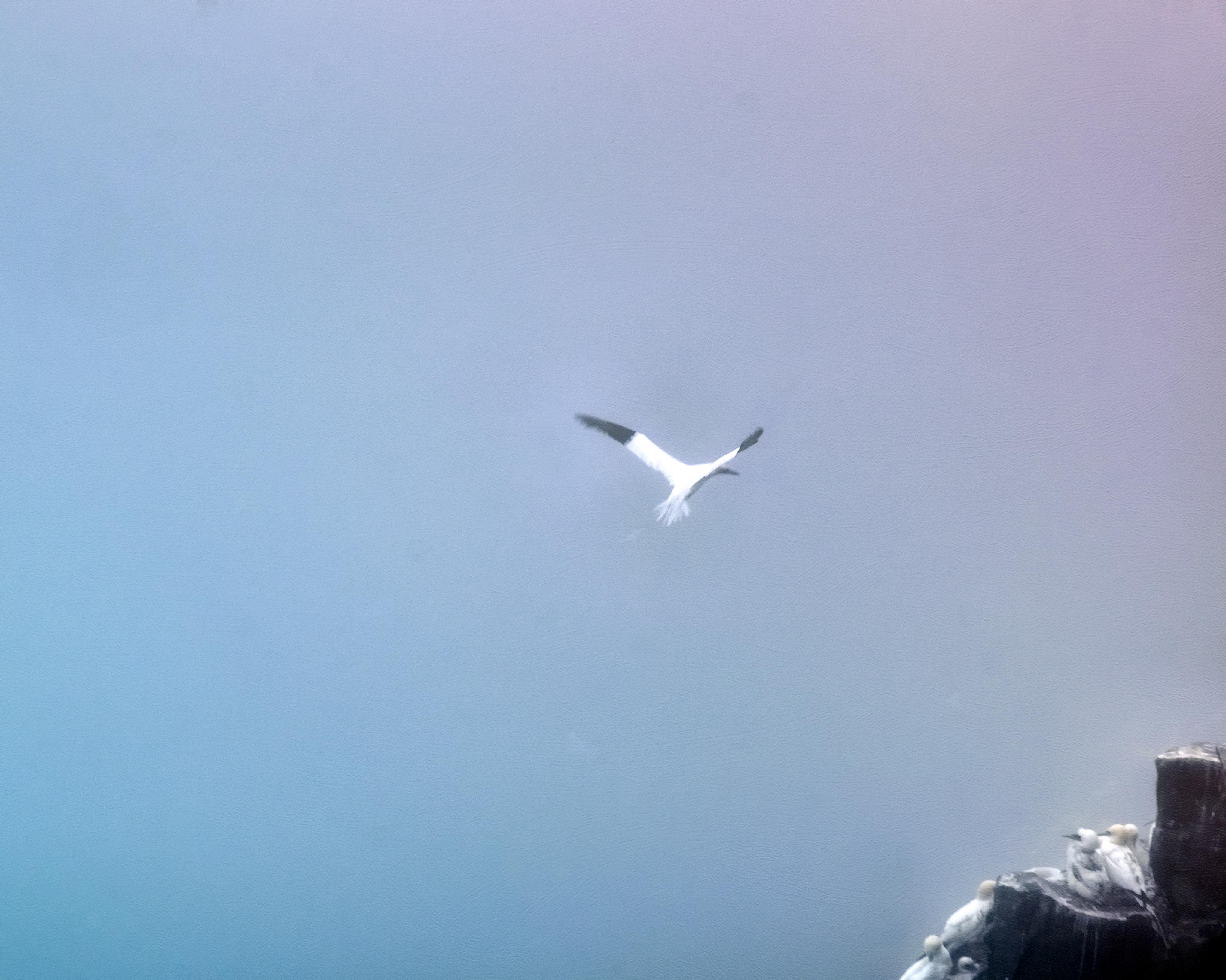 Northern Gannets-