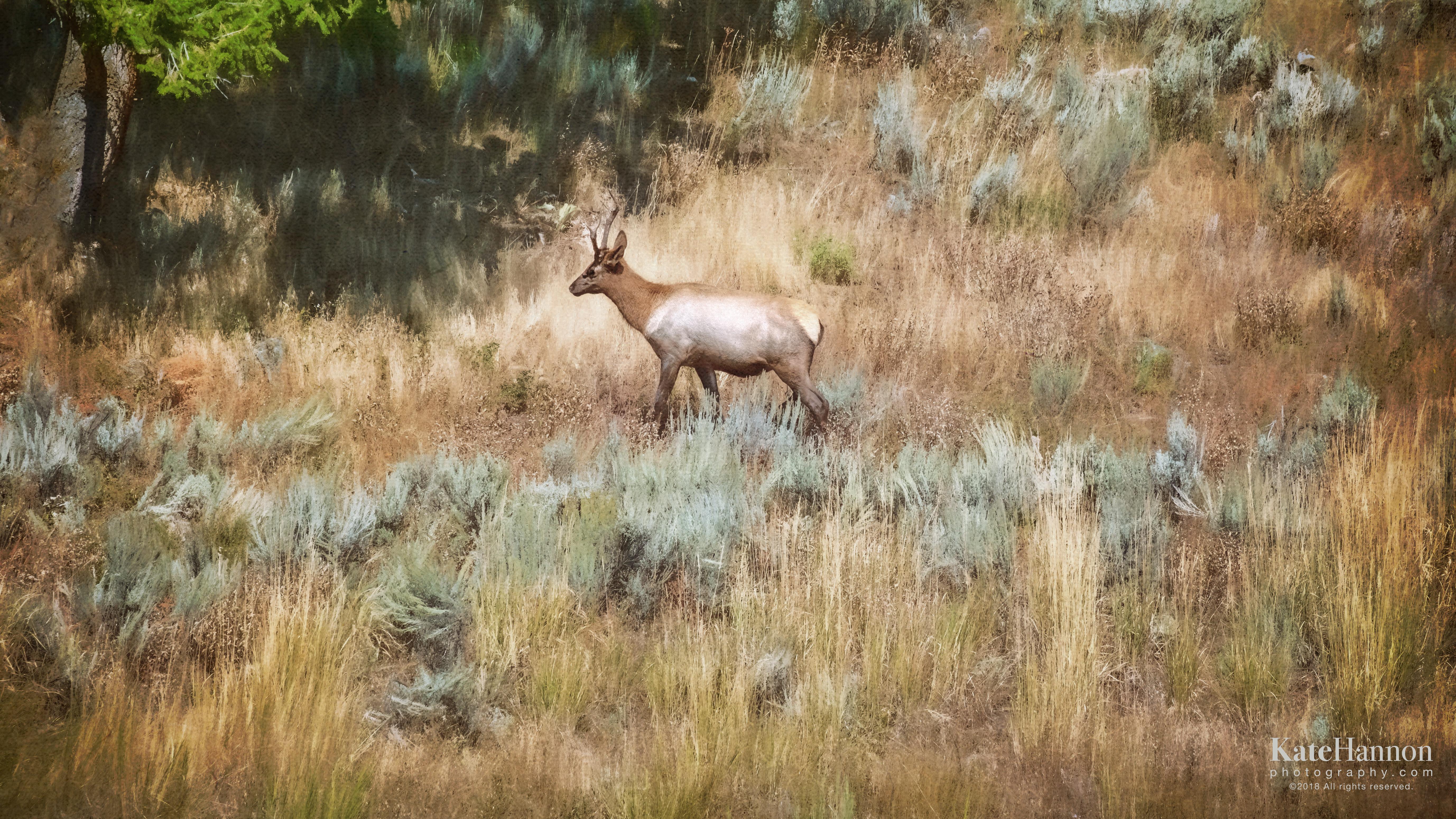 Pronghorn Antelope West-1657-Edit-Edit