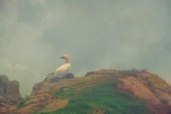 Northern Gannet-