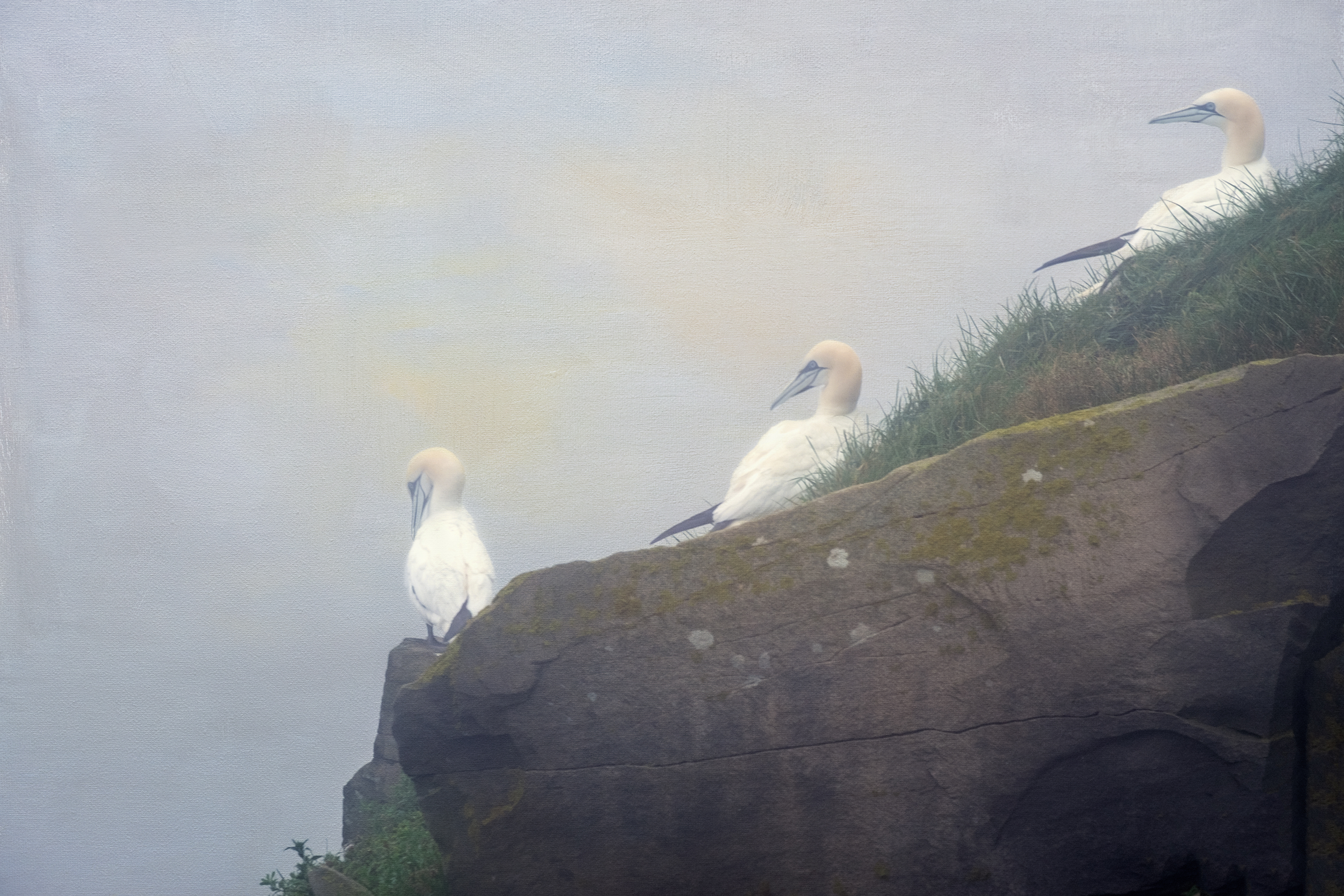 Hanging Out Gannets -2113
