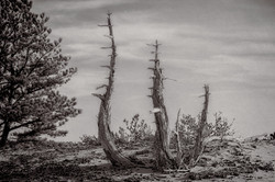 Viking Trees-