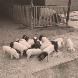 Cochons Sattelschwein