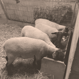 Moutons Suffolk