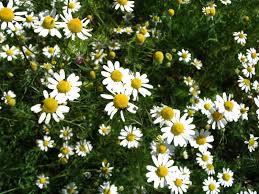 Notre billet radio du 13 avril: La camomille pour vous soulager au printemps!