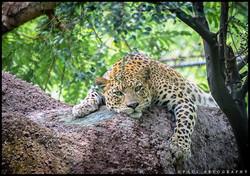 Leopard at Indira Gandhi Zoological Park
