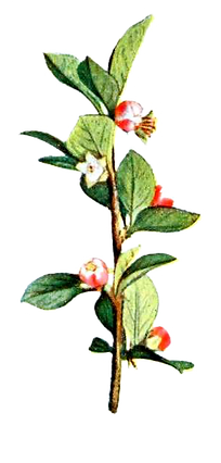 Illustated%20Branch%20with%20Flowers_edi