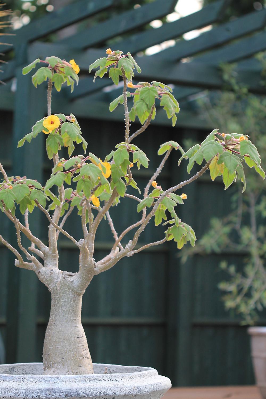 ウンカリーナ 花よし多肉植物 長野県上田市