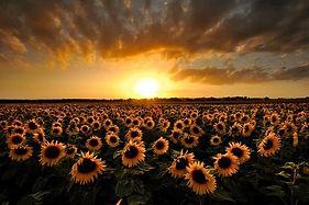 Sunshine and Sunflowers.jpg