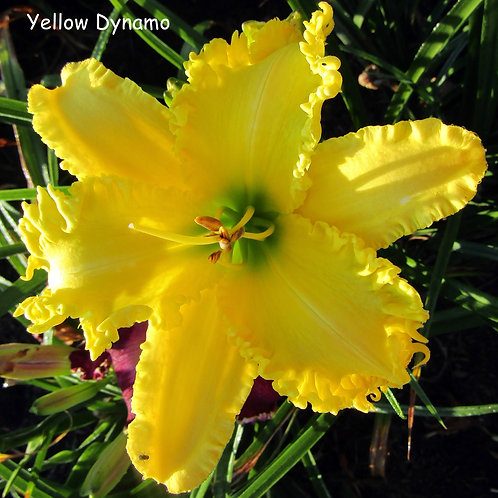 Yellow Dynamo