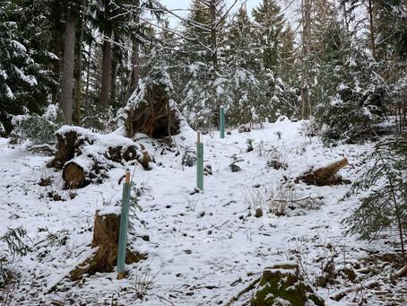 Klimafitte Bäume im Klosterwald Kirchberg a.W.