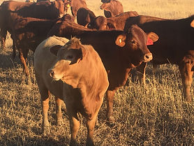 SOLD - Droughtmaster Cross Weaners