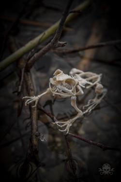 Skelett Frosch