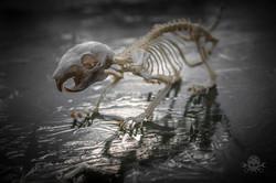 Skelett Eichhörnchen