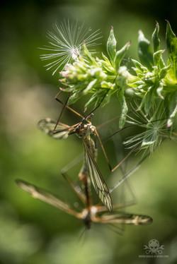 Schnaken (Tipulidae)
