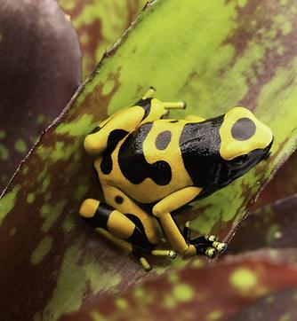 poison-dart-frog.png