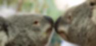 Koalas Australian Koala Foundation photo