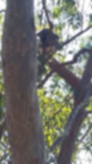 Koala sighting on Honeyeater Track Mt Coot-tha near Sir Sammuel Griffith Drive 24 June 7 23 July 2018