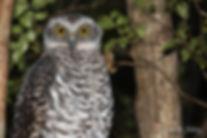 Powerful Owl #4.jpg