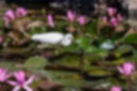Botanic Gardens Egret.jpg