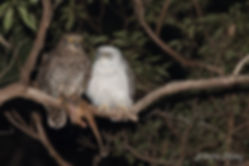 Powerful Owl mum & chick #6.jpg