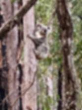 Koala Sept  2018 Mt Coot-tha Honeyeater