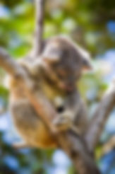 Koala asleep in tree from Qld Govt Dept of Environmen & Heritage Protection