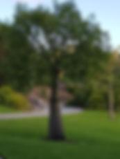 Maree Robertson tree Botanic Gardens.jpg