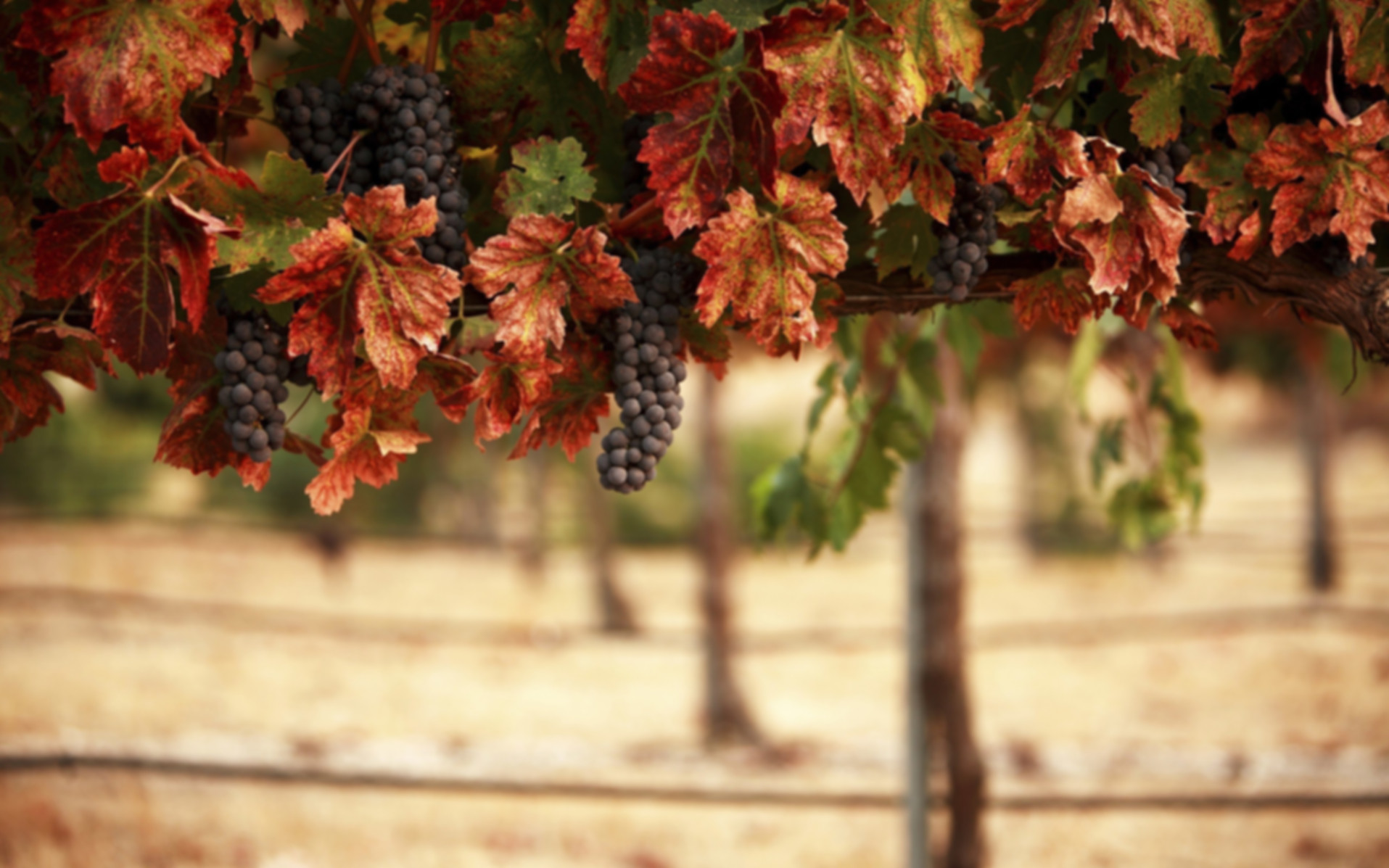 vineyard-grapes-autumn-2560x1600.jpg
