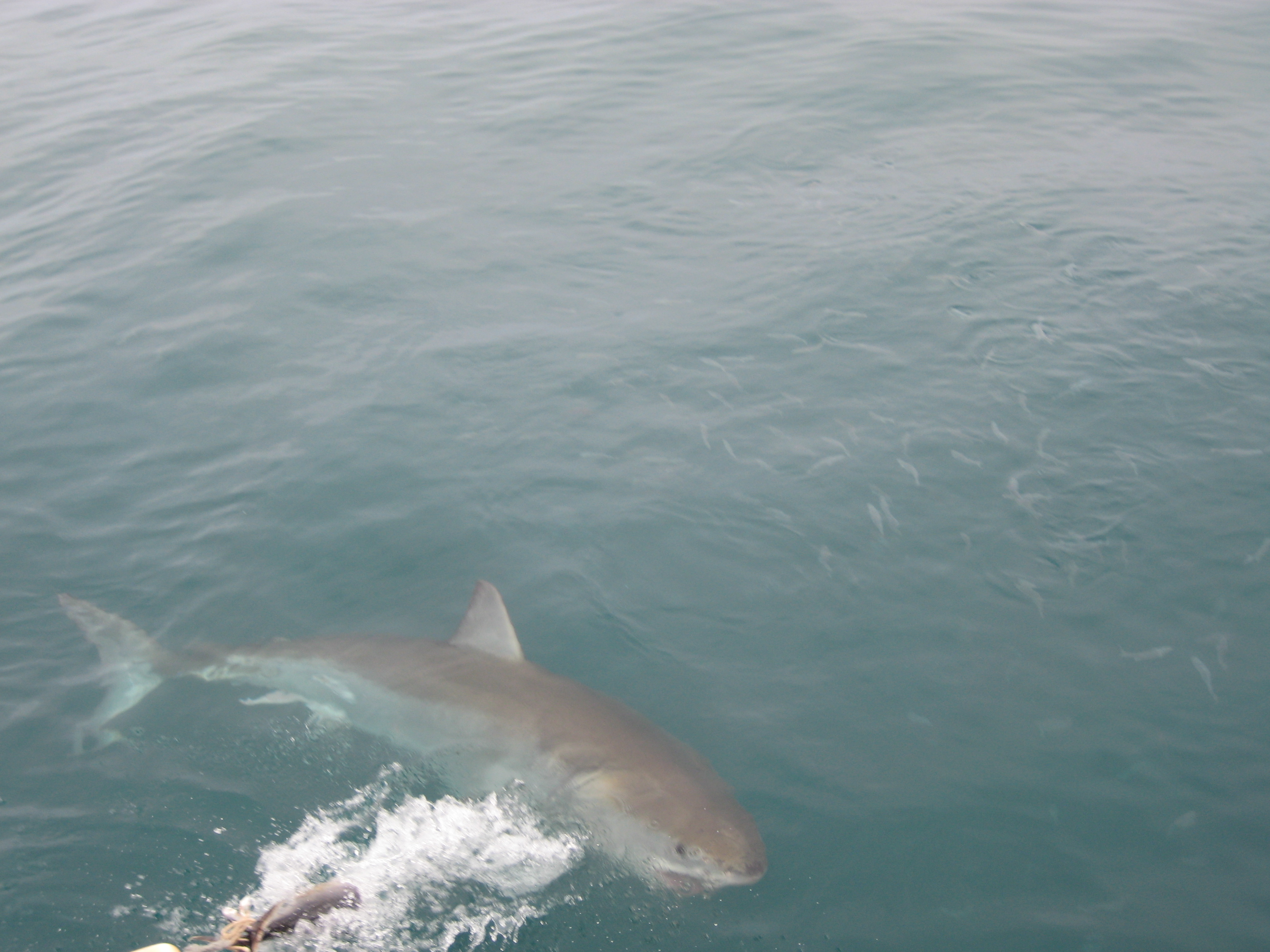 Great White Sharks - SA