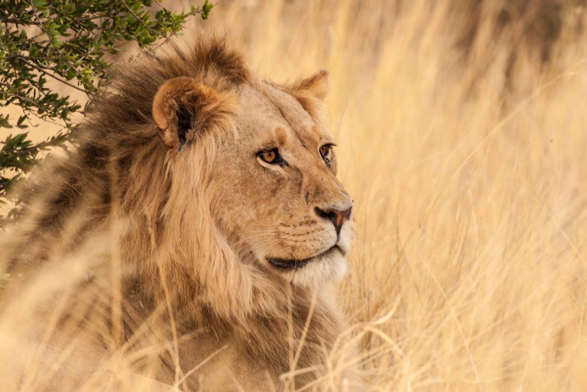 Lion at Kalahari