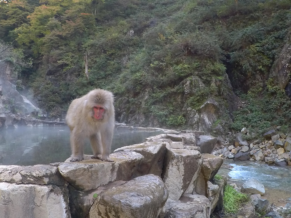 SNOW MONKEY  JAPON