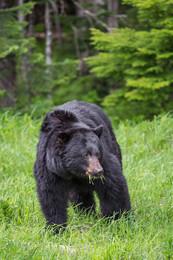 Black Bear Feeding