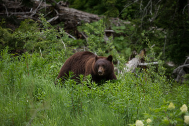Black Bear in the Grass