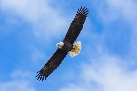 Bald Eagle Flight